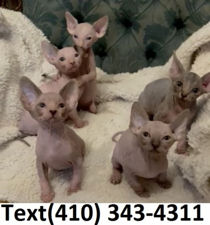 amazing-sphynx-kittens-for-sale-big-0