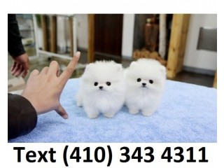 Outstanding tiny teacup pomeranian puppies for sale.