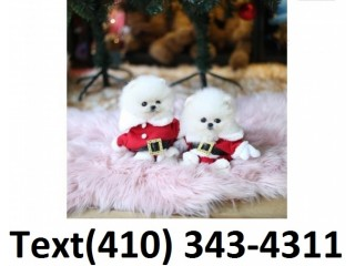 Exceptional t-cup pomeranian puppies for sale