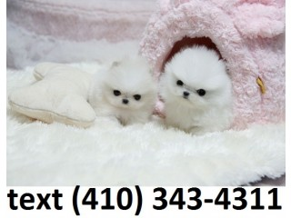 Precious t-cup pomeranian puppies for sale!