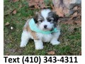 cute-havanese-puppies-for-sale-small-0