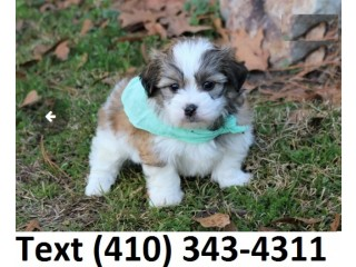Cute Havanese puppies for sale!