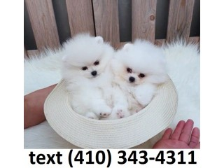 Adopt cute teacup pomeranian puppies!!!!
