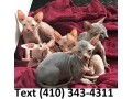 affectionate-sphynx-kittens-for-sale-small-0